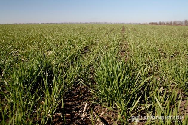 Поля озимой пшеницы «Оазиса»