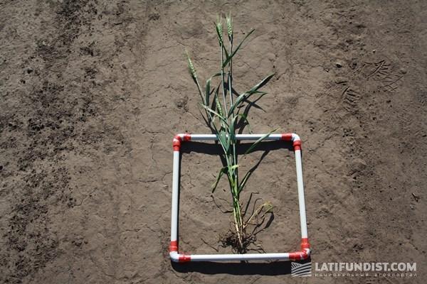 Пшенице дали все, что можно было, но недостаток влаги существенно ударил по потенциалу урожайности