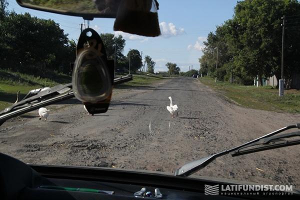 Гуси неохотно уступают дорогу