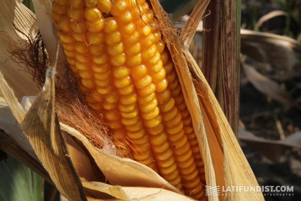 кукуруза ТОВ «Билагро»
