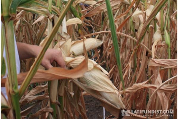 полтавская кукуруза