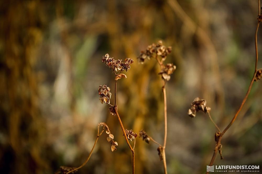 Засохшее растение гречихи
