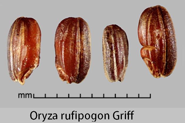 Зерновка Oryza rufipogon Griff