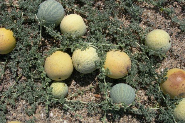 Прародитель арбуза, произрастающий в пустыне Калахари и ныне - дыня тсамма (Citrullus ecirrhosus)