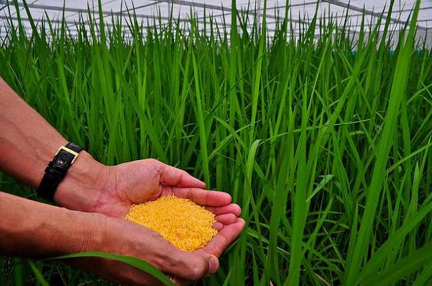 Выращивание золотого риса