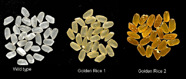 Golden Rice 2