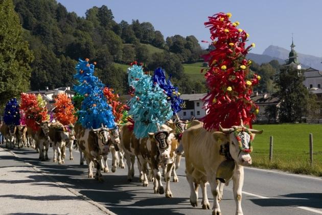 Судя по отсутствию жалоб, коровам праздник тоже нравится