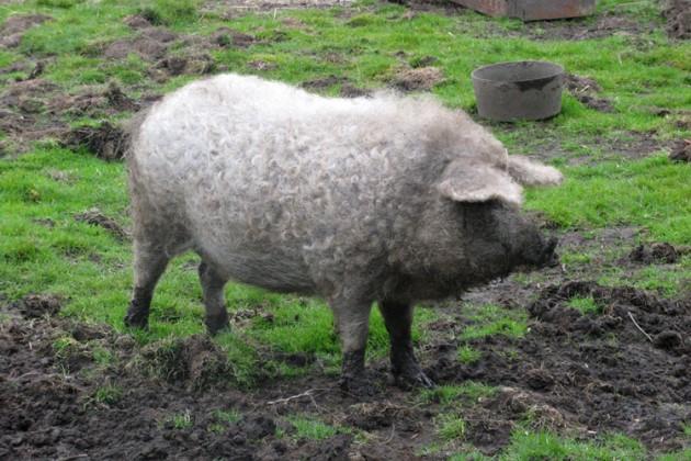 Линкольнширская порода курчавых свиней