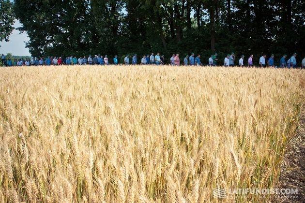 Поле 1: колосистая пшеница