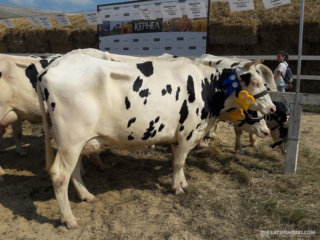 Корова породы голштин