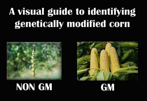 Визуальный определитель генетически модифицированной кукурузы: не ГМ / ГМ