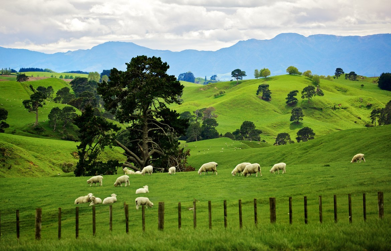 Овцы на пастбище