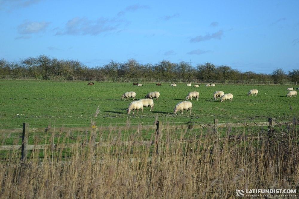 Овцы на поле графства Линкольншир