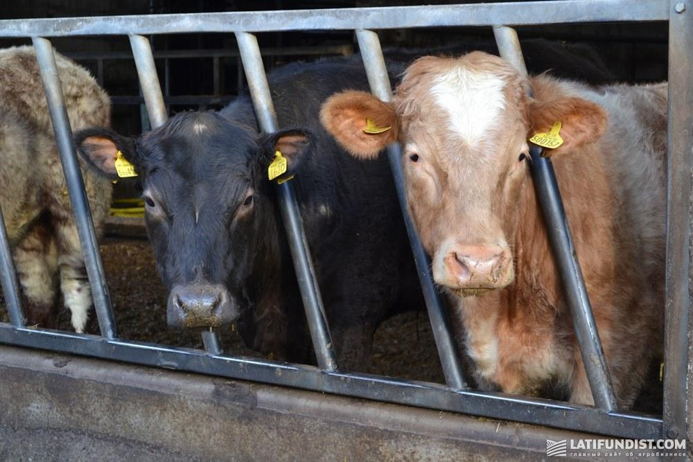 Коровы на ферме Великобритании