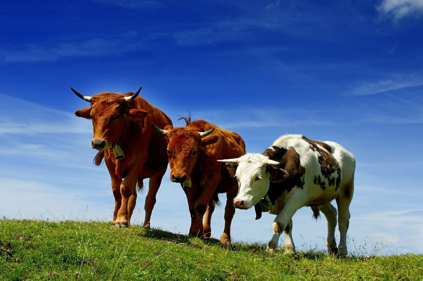 Животные являются мощным источником метана