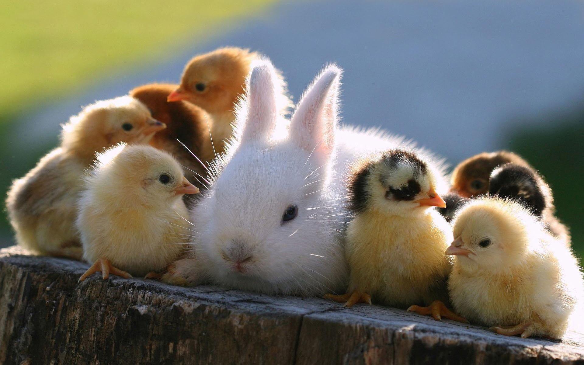 В Айове запрещено предлагать в продажу и просто отдавать кроликов или птенцов домашней птицы, которые были каким-либо образом искусственно раскрашены