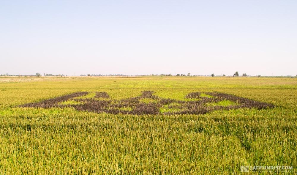 Трезубец на рисовом поле