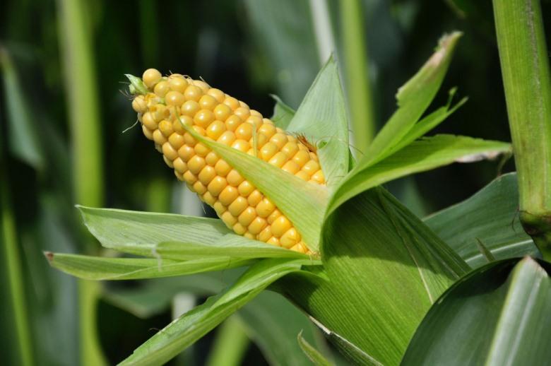 К чему снится кукуруза женщине