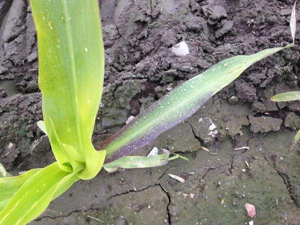 Признак недостатка фосфора на ростках кукурузы