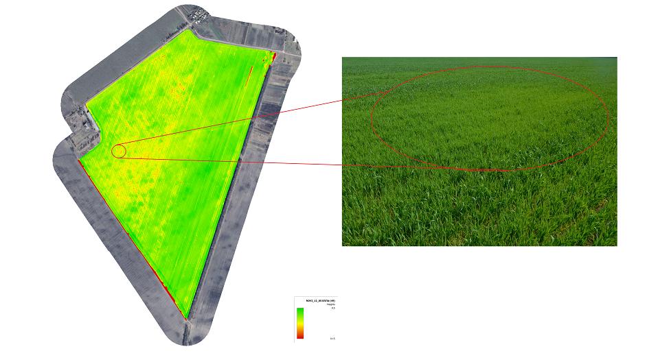 Визуальная корреляция низкого по уровню NDVI и, соответственно, более слабого состояния всходов озимой пшеницы по полю