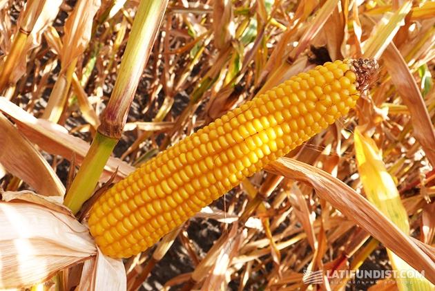 Кремнисто-зубовидный гибрид кукурузы Mas 25.T.