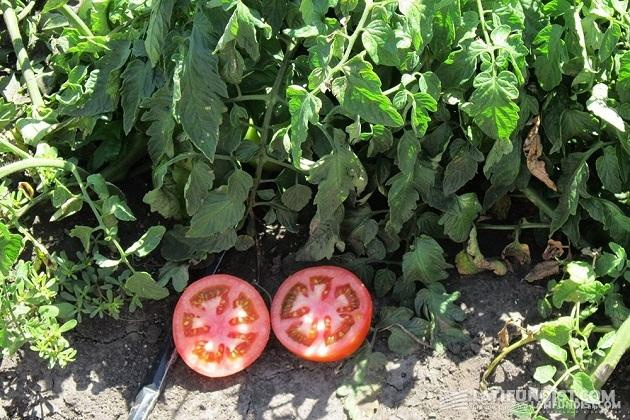 Коллекция томатов представлена более чем 40 видами для различных целей