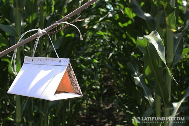 А от кукурзных мотыльков — «карточные» домики
