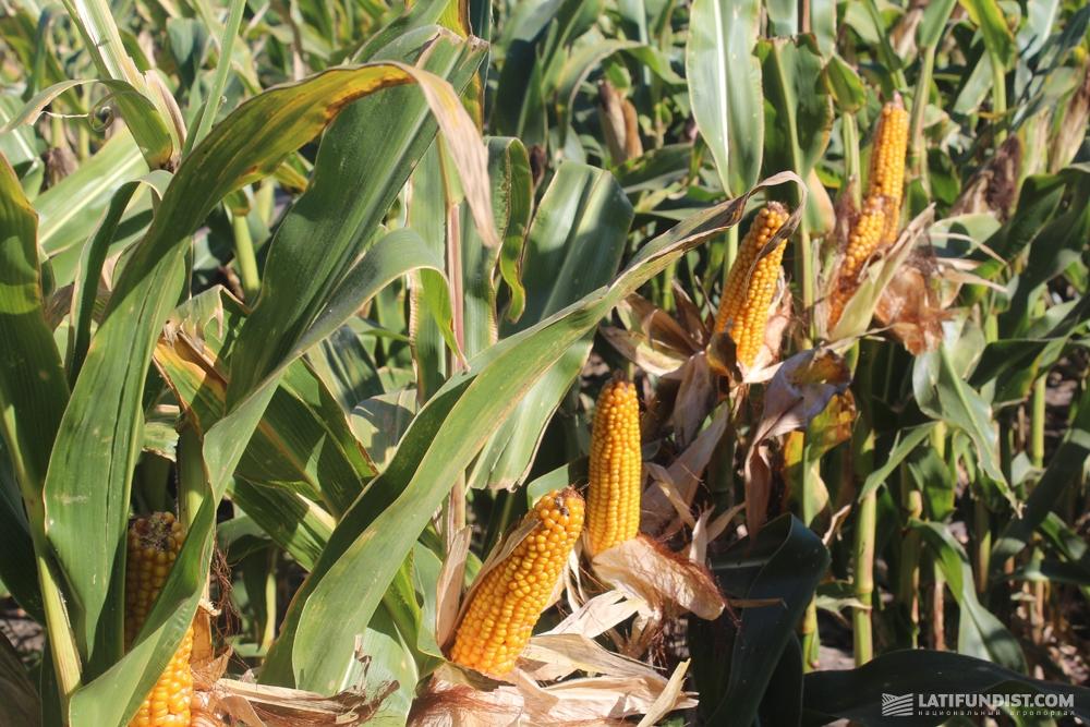 Гибрид кукурузы PR37N01