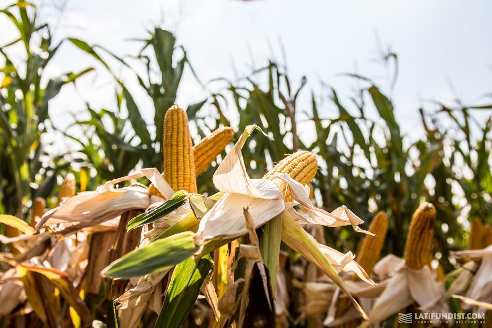 Гибрид кукурузы линейки UNIQUEDENT