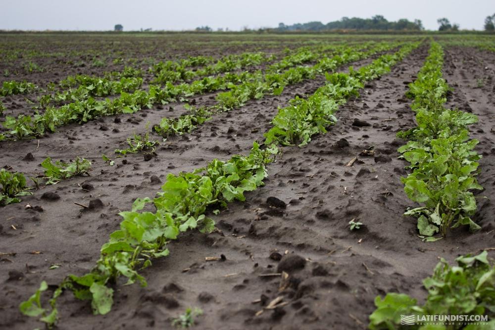 Семеноводческие посевы «Сесвандерхаве», сельскохозяйственный производственный кооператив «Россия»
