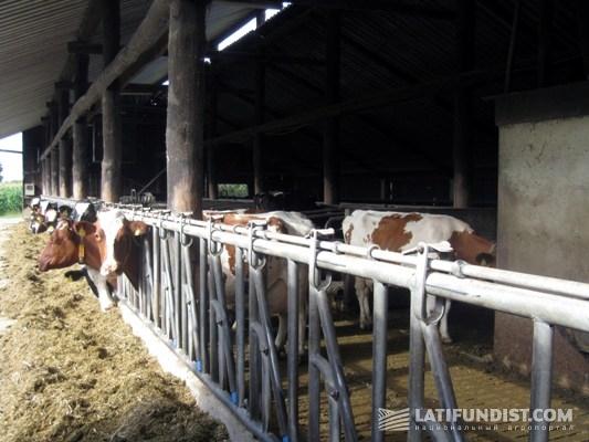 Содержание коров на немецкой молочной ферме