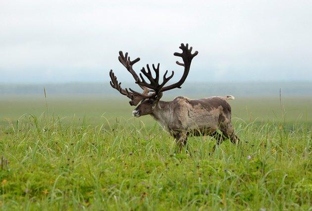 В современном мире этих животных в основном разводят для получения мяса и трофеев.