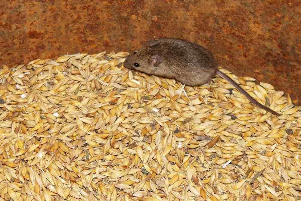 Одна мышь в сутки может съедать около 3 г зерна