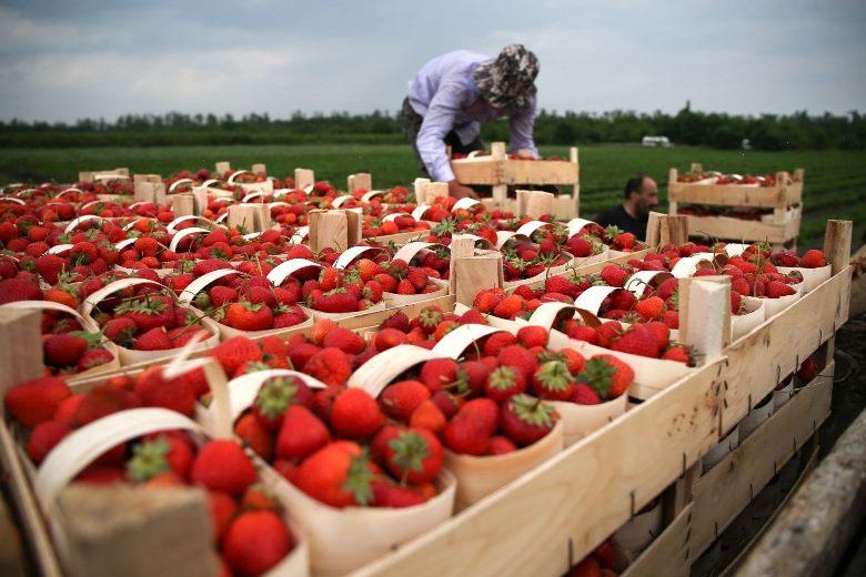 В Чехии я работал в поле — собирал клубнику
