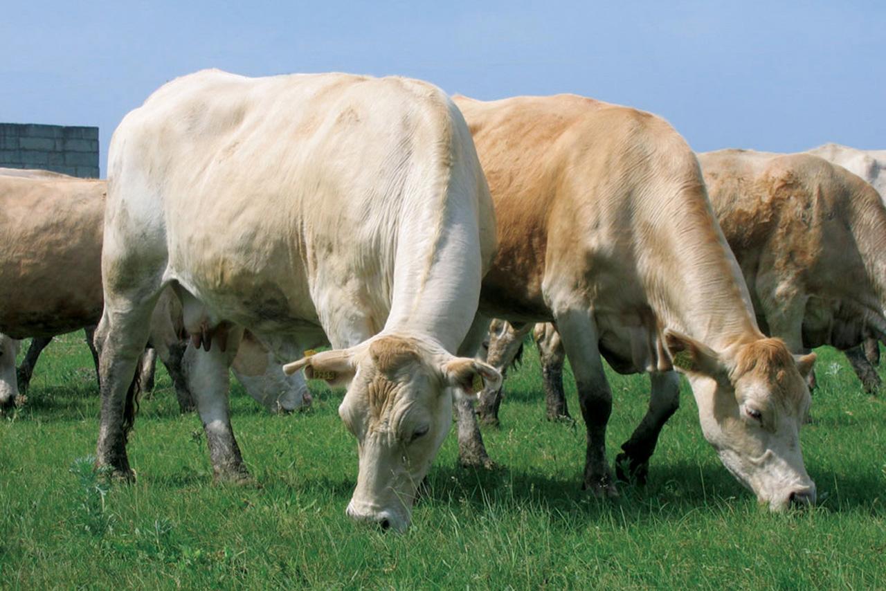 Коровы породы полесская мясная