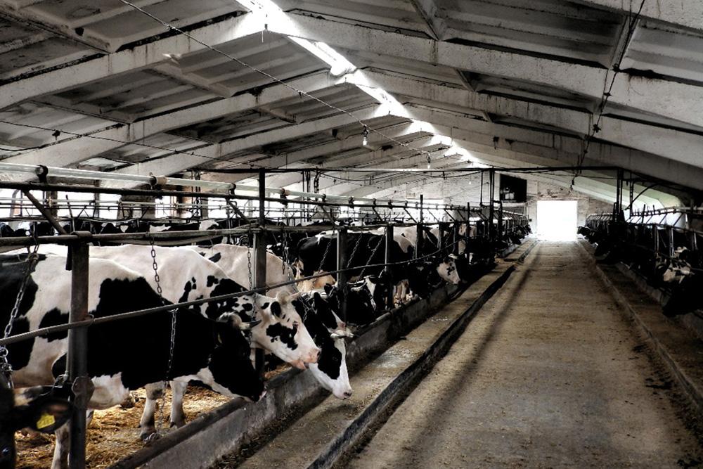 Молочное стадо компании «Агросет»