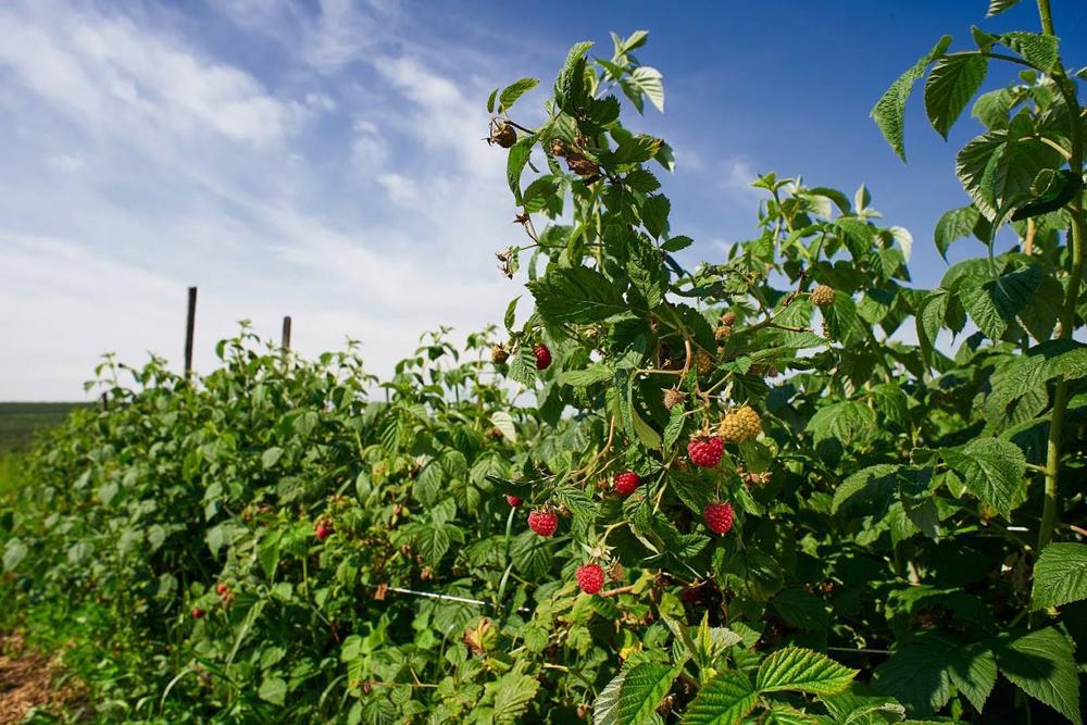 Малиновый сад компании T.B. Fruit