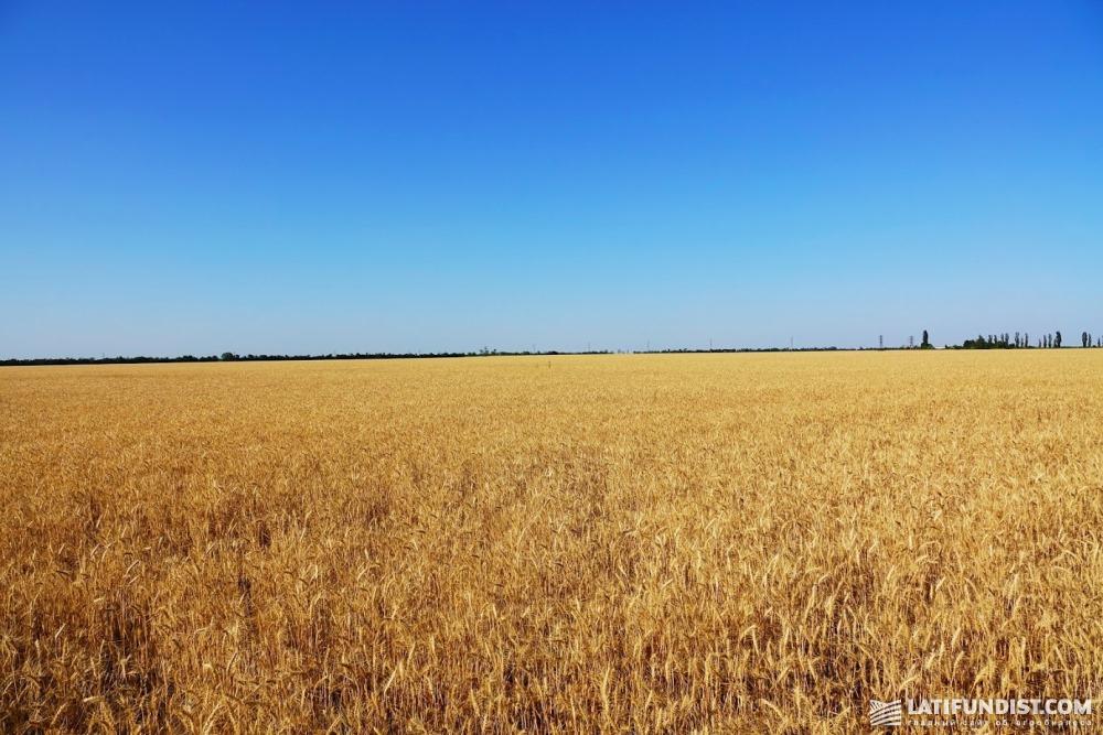 Пшеничное поле компании «НИБУЛОН»