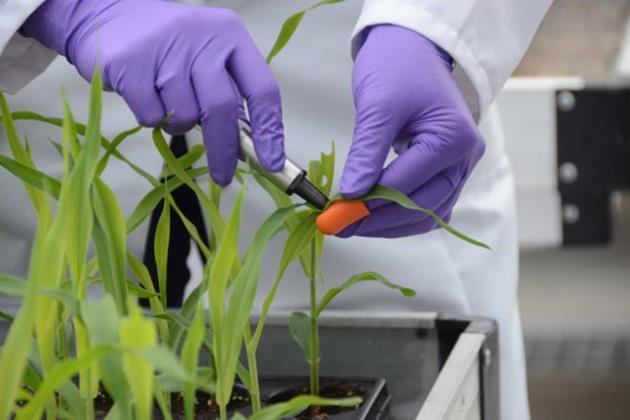 Отбор проб зеленой массы кукурузы