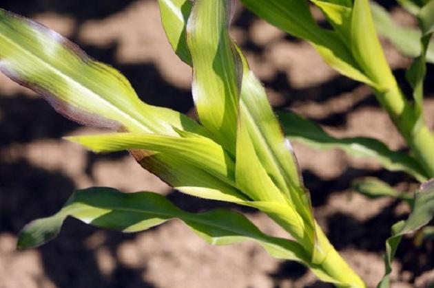 Силосная кукуруза
