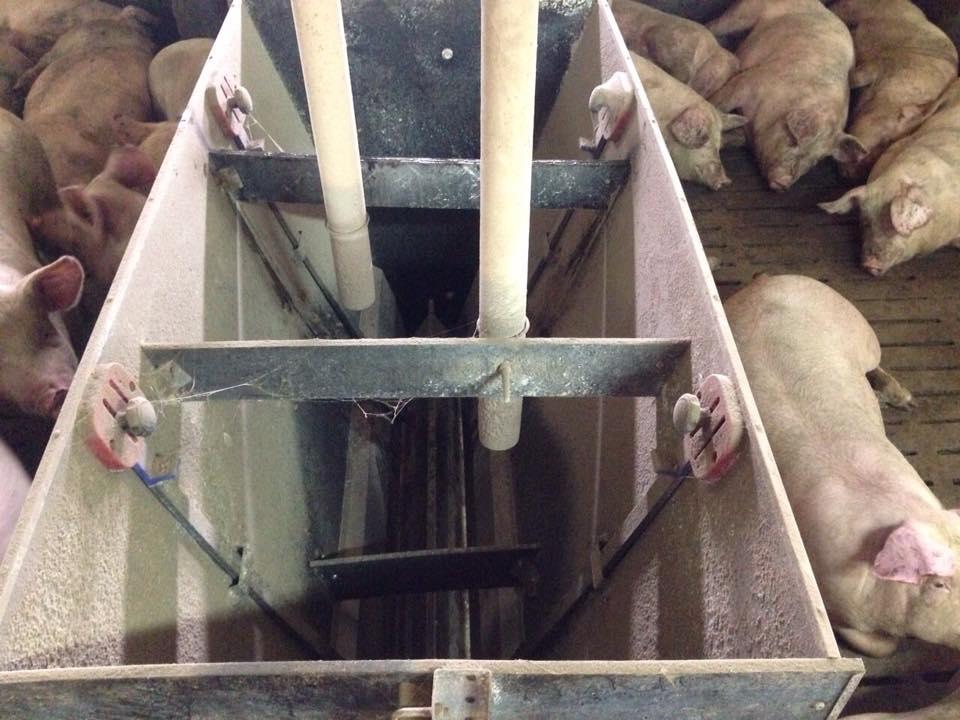 Содержание животных на свинокомплексе агрохолдинга «Сельские традиции»
