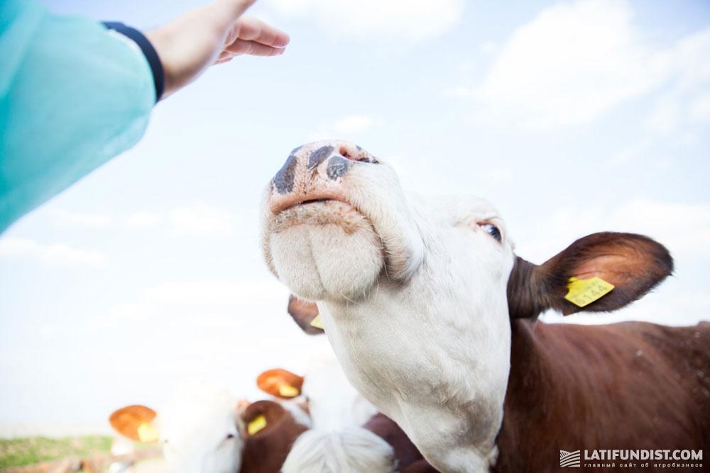 В компании общее поголовье КРС составляет 2400 голов, из них около 1100 — дойного стада