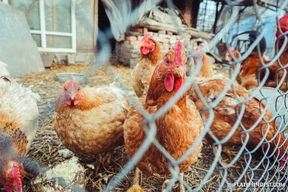 В планах компании пока нет строительства собственной большой птицефермы