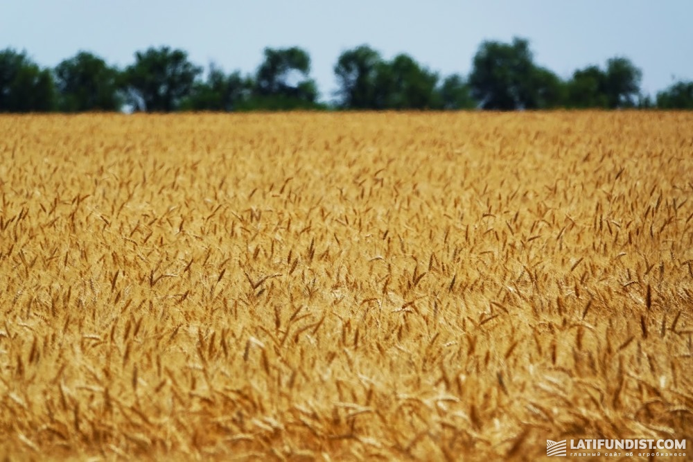 Пшеничное поле предприятия «Таврийская перспектива»