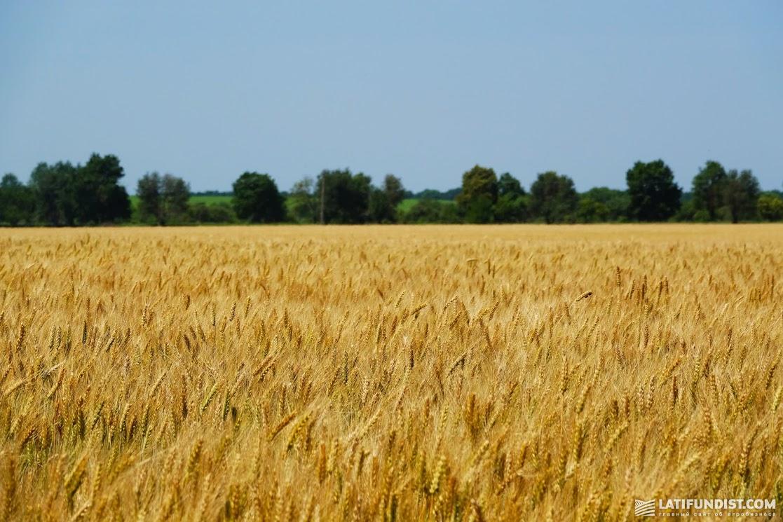 Достигли по пшенице неплохих результатов