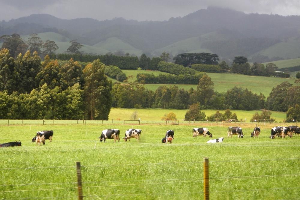 Коровы на полях Австралии