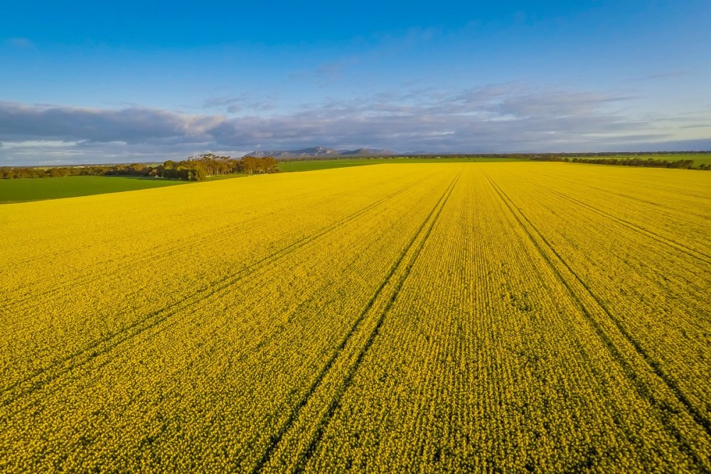 Rapeseed fields in the State of Victoria, Australia
