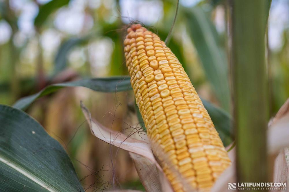 Кукуруза на поле агрохолдинга A.G.R. Group