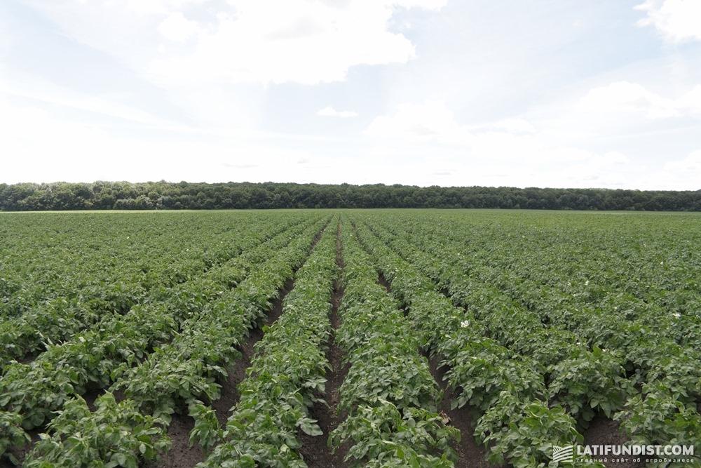 Посевы картофеля компании «Мрия»