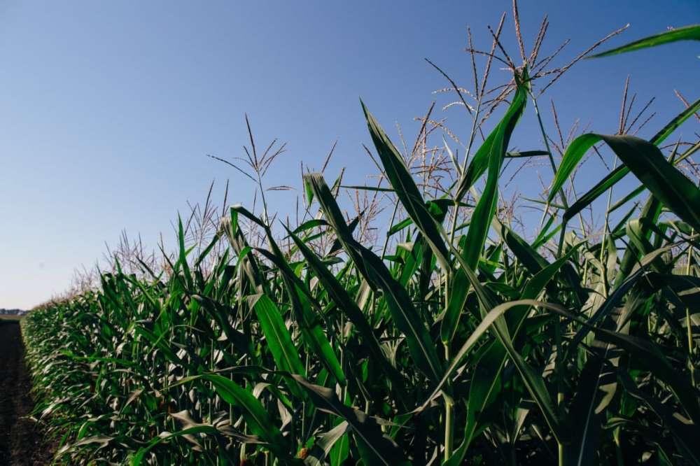 Посевы кукурузы UNIVERSEED